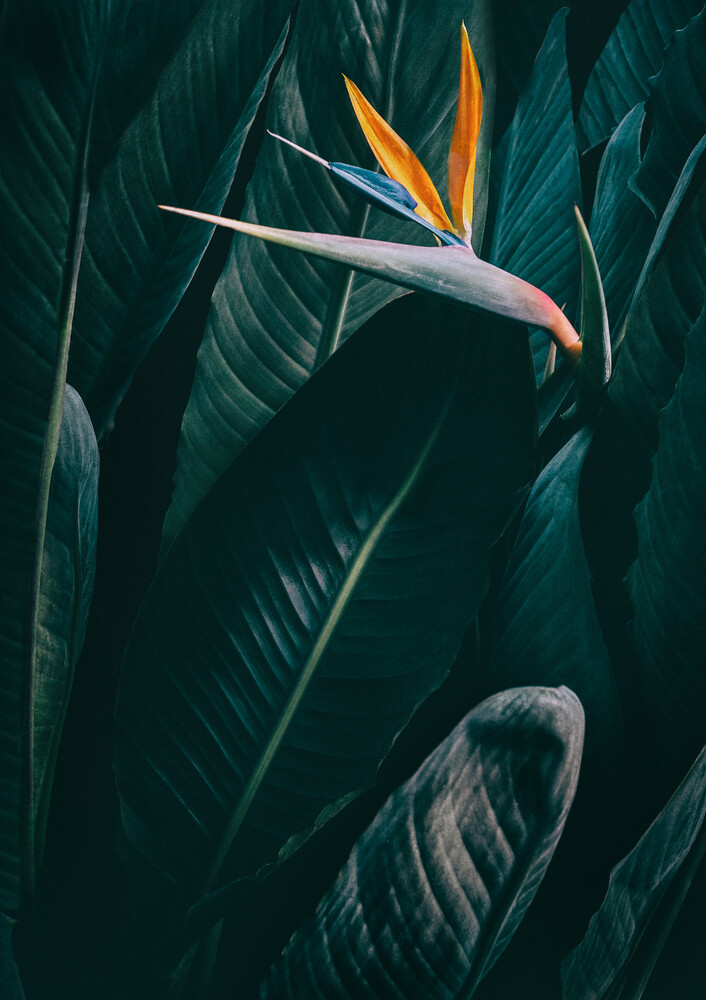 Bird of paradise - Fineart photography by Christina Ernst