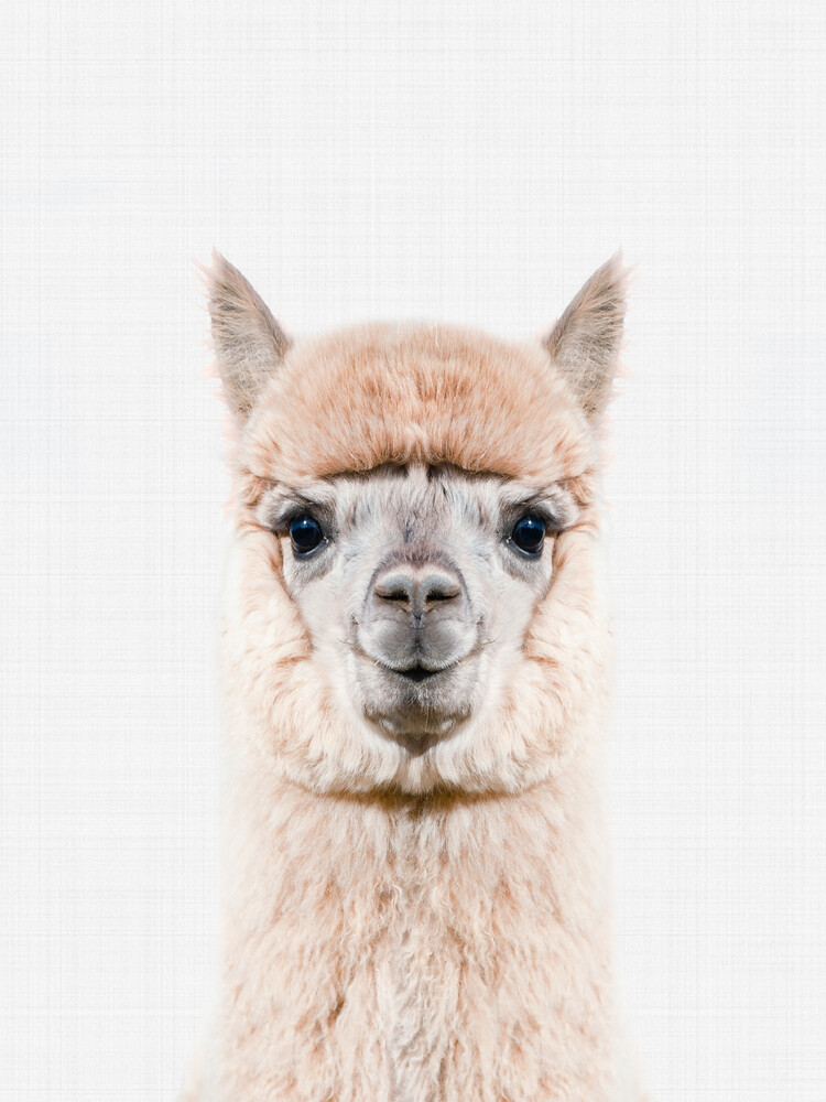 Alpaca - Fineart photography by Vivid Atelier
