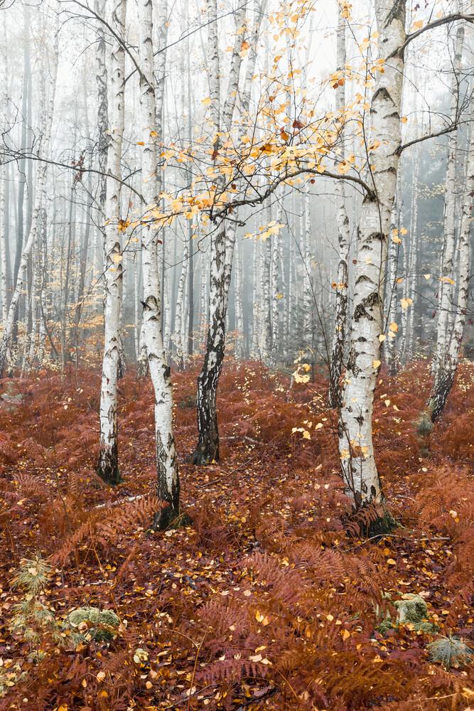 Birkenwald - fotokunst von Holger Nimtz