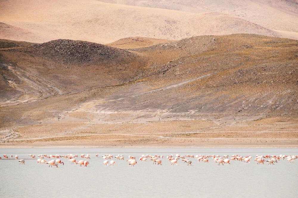 Flamingos in the Andes - Fineart photography by Felix Dorn