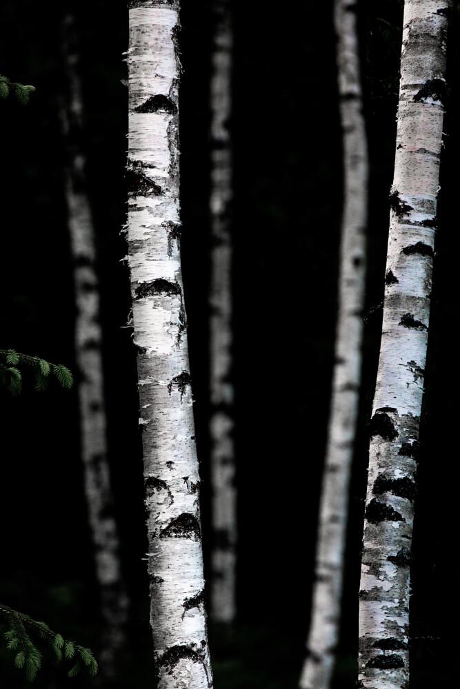 Birch Trees 5 - fotokunst von Mareike Böhmer