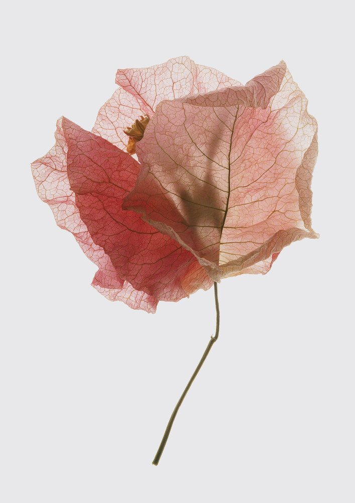 Bougainvillea Study    - Fineart photography by Shot by Clint