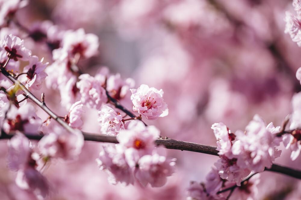 Kirschblüten in der Frühlingssonne - fotokunst von Nadja Jacke