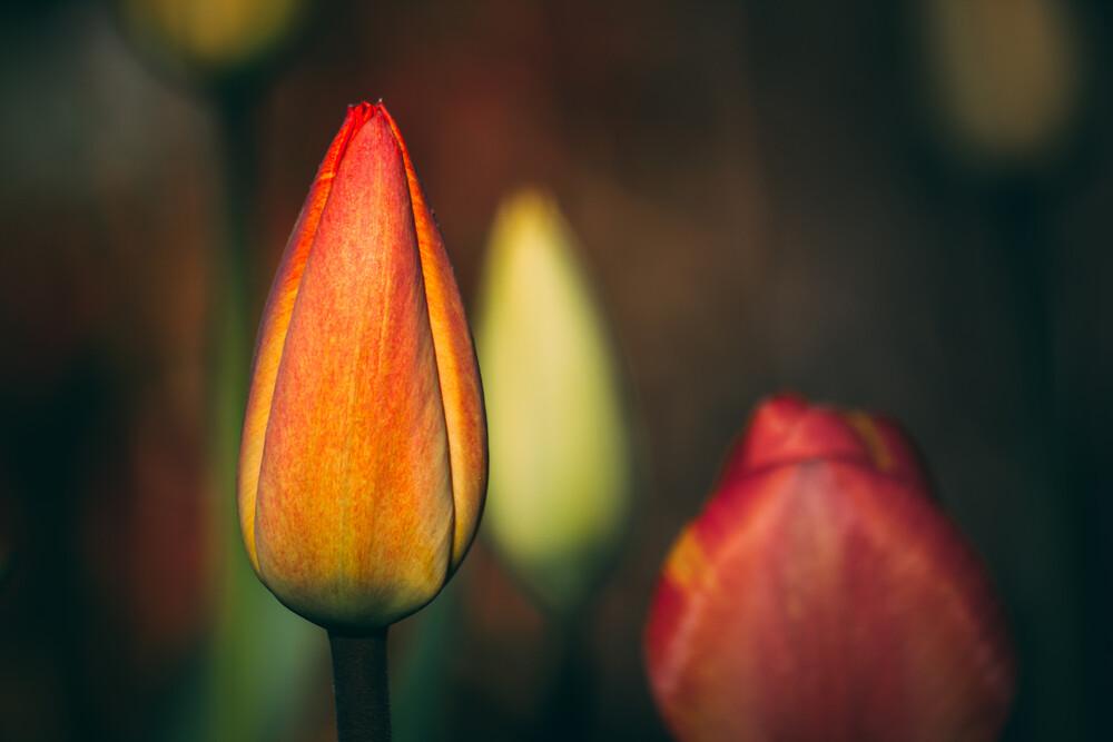 Tulpen - fotokunst von Björn Witt
