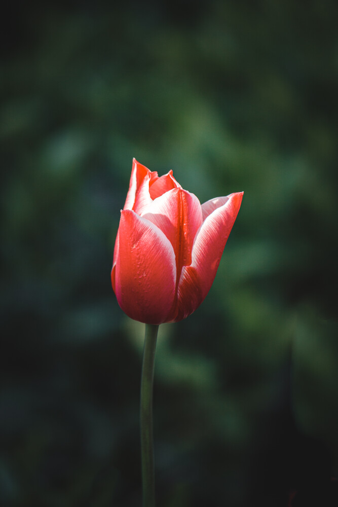 Tulpe - fotokunst von Björn Witt