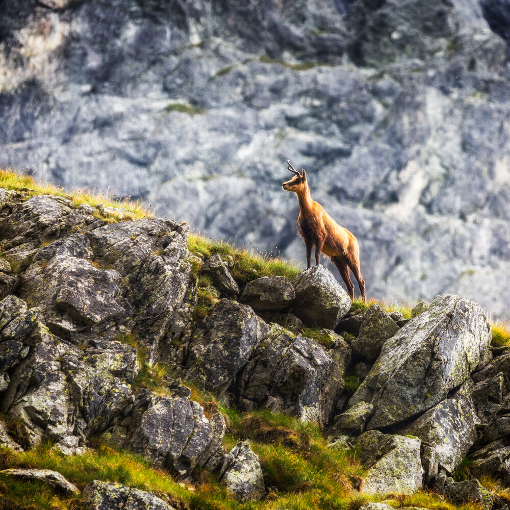 Gämse in der Tatra - fotokunst von Mikolaj Gospodarek