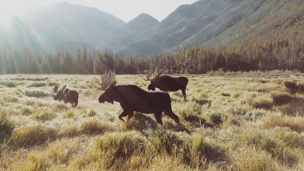 Rocky Mountain Moose - fotokunst von Kevin Russ