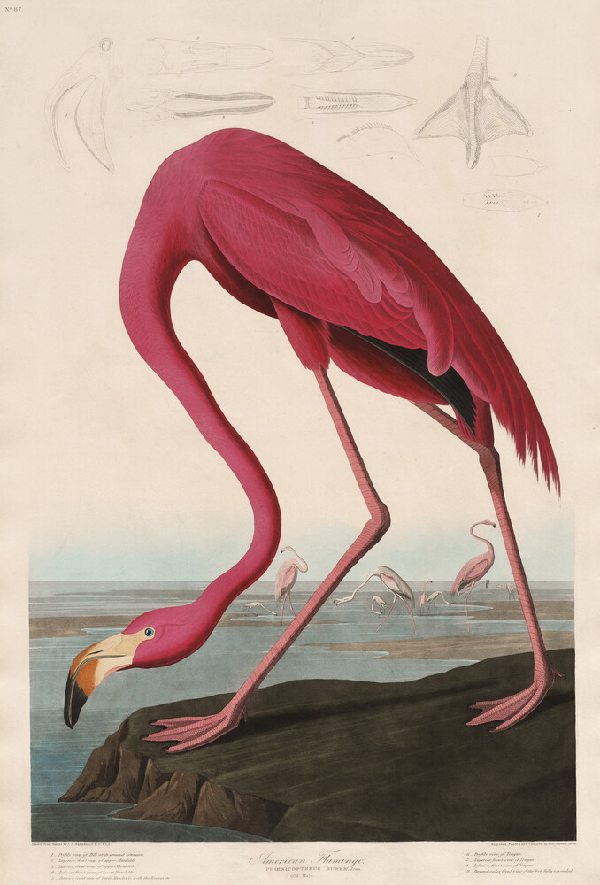 Pink Flamingo - Vintage Illustration - Fineart photography by Vintage Nature Graphics