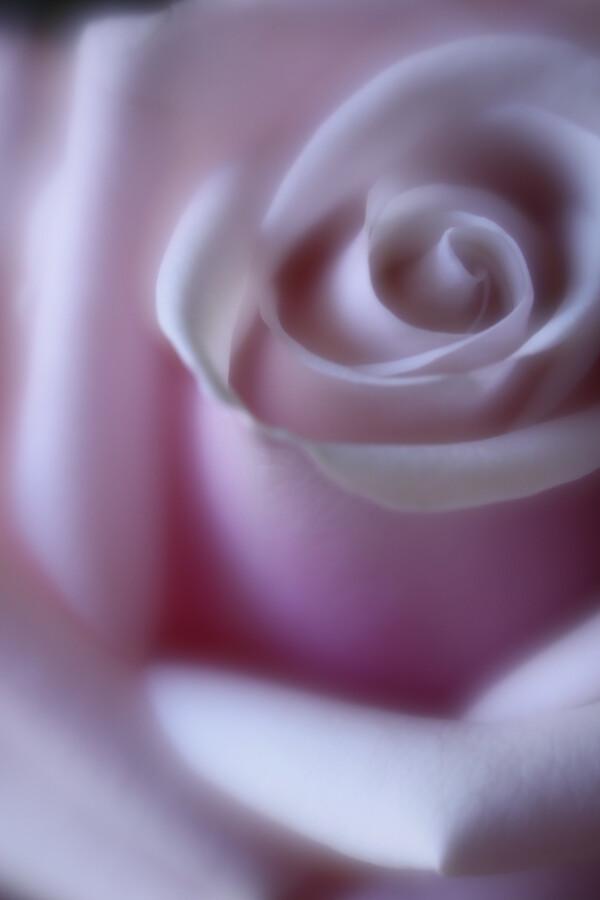 rose - fotokunst von Steffi Louis