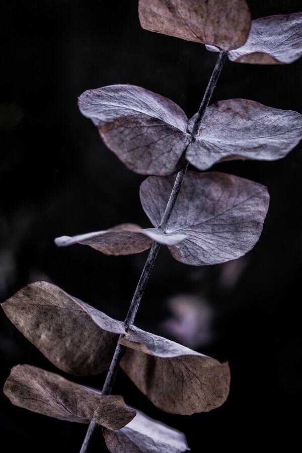 Eucalyptus 11 - Fineart photography by Mareike Böhmer