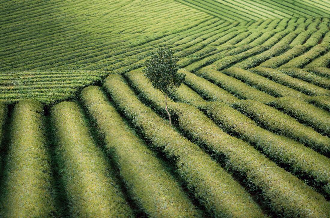 Tree in a Tea Field - fotokunst von AJ Schokora