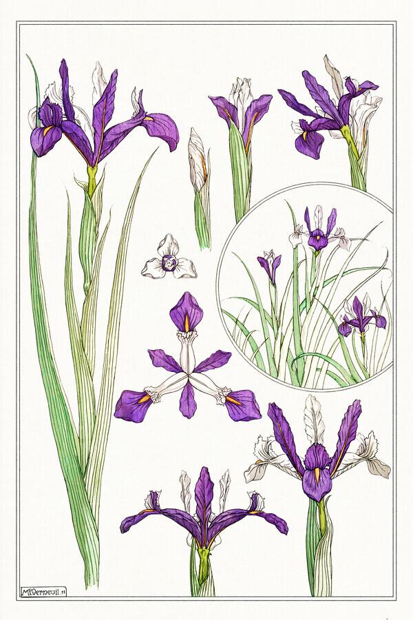 Maurice Pillard Verneuil: Ancolie (Akelei) - fotokunst von Vintage Nature Graphics