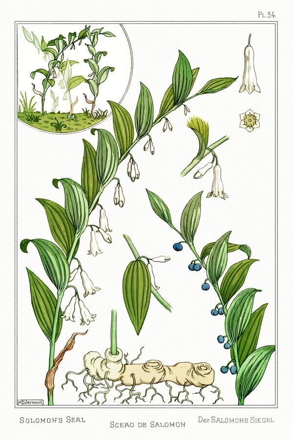 Maurice Pillard Verneuil: Sceau de Salomon (Salomossiegel) - fotokunst von Vintage Nature Graphics