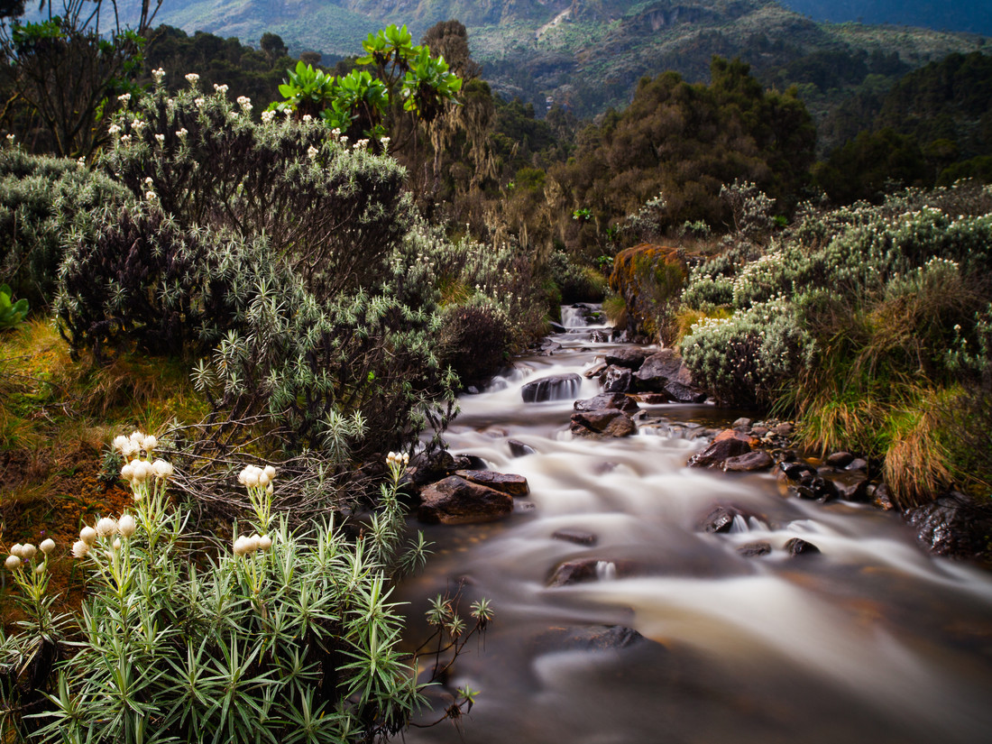 Everlasting Flowers in the Rwenzori Mountains - Fineart photography by Boris Buschardt