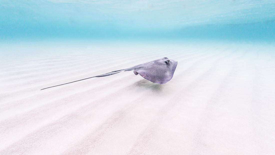 Stingray - Fineart photography by Boris Buschardt