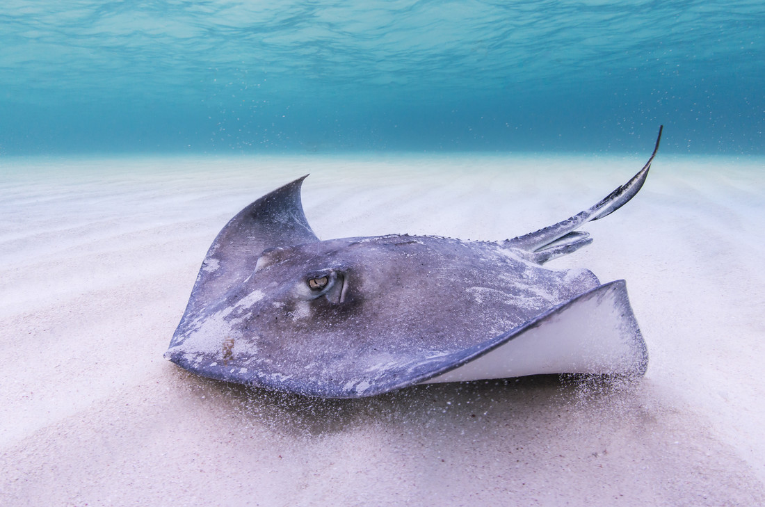 Stingray - fotokunst von Boris Buschardt
