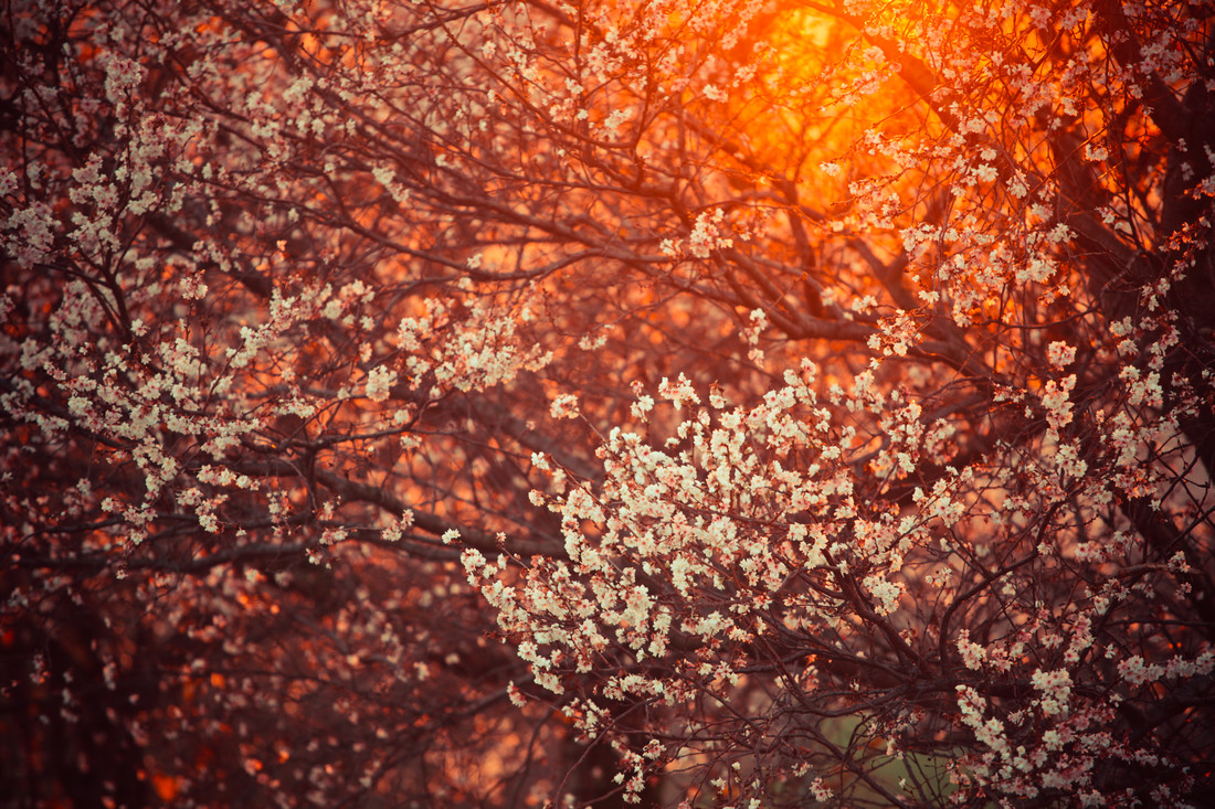blooming tree and sun flare - fotokunst von Juvenal Manfrin