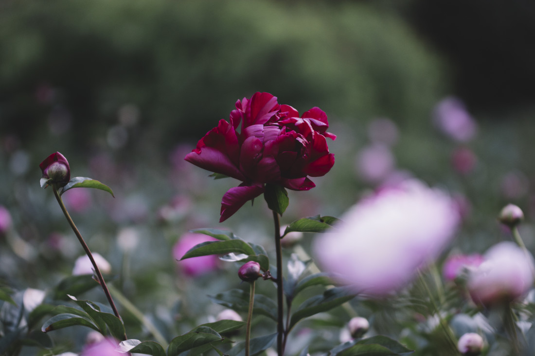 Dark red peony on a summer day - Fineart photography by Nadja Jacke