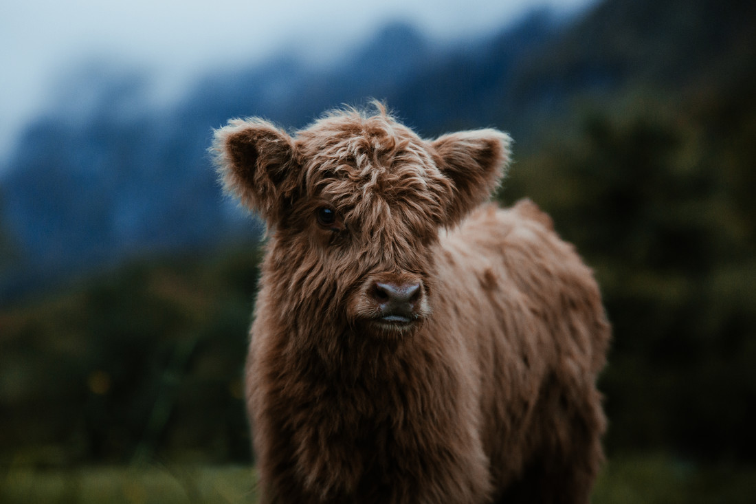 Little Highland Cattle - Fineart photography by Marina Weishaupt