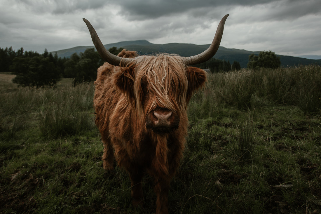 Scottish Highland Cattle - Fineart photography by Marina Weishaupt