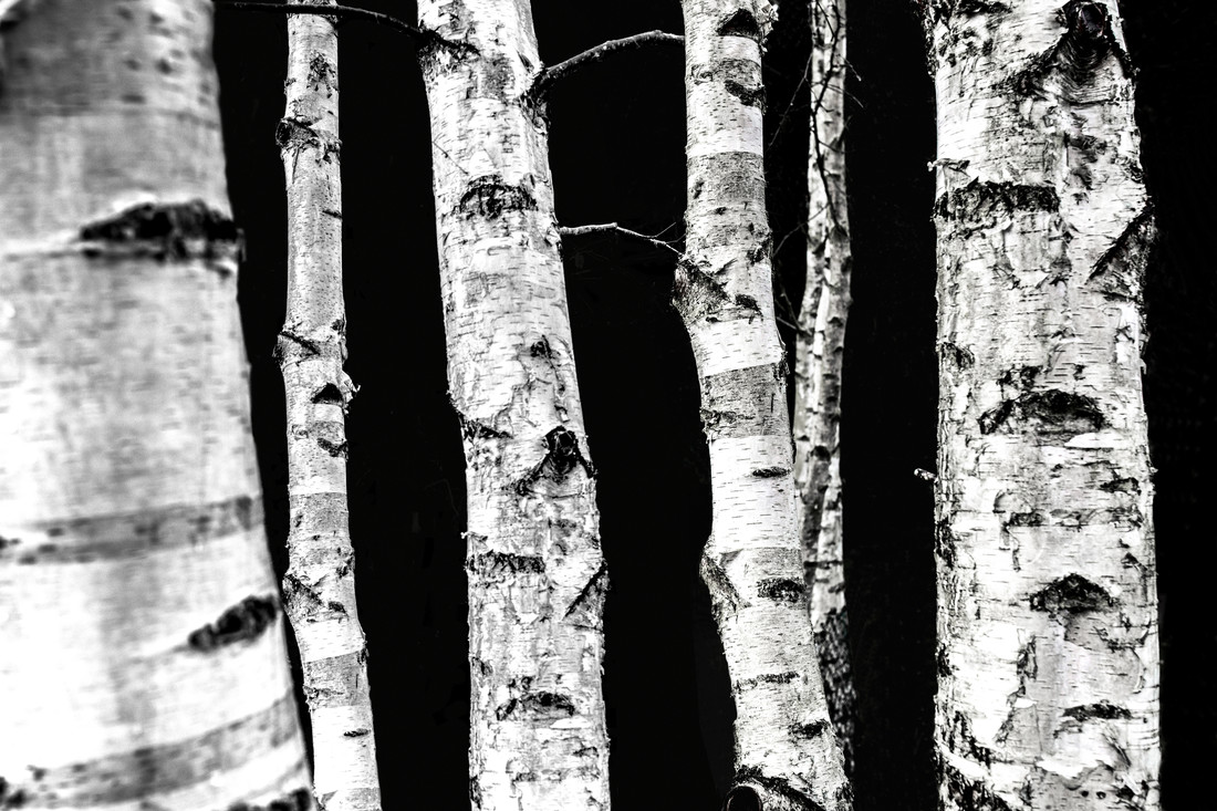 Birch Trees - Fineart photography by Mareike Böhmer