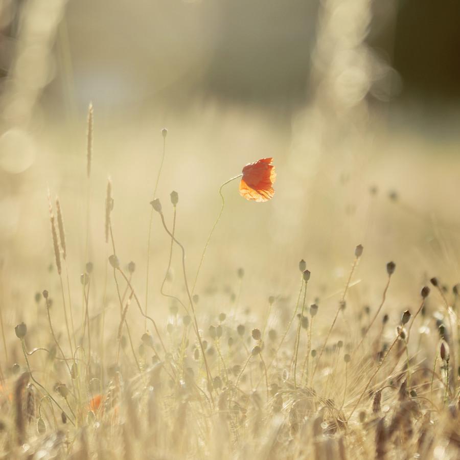 Poppy in the cornfield in the warm sunlight - Fineart photography by Nadja Jacke