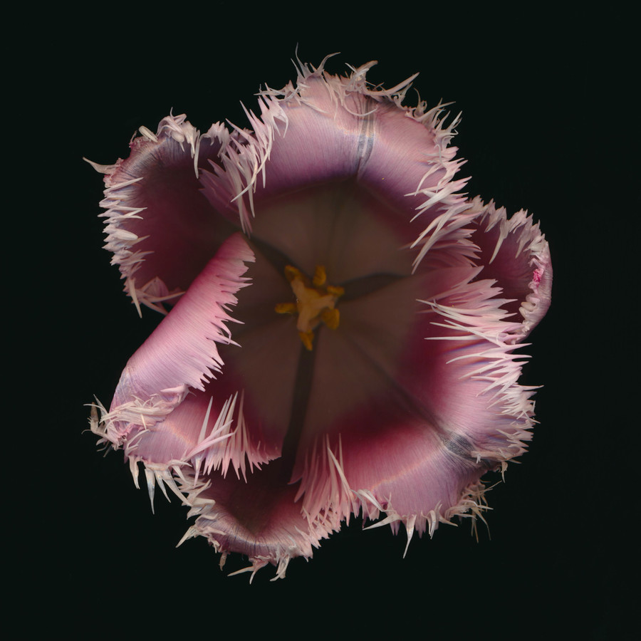 Tulip - Fineart photography by Ramona Reimann