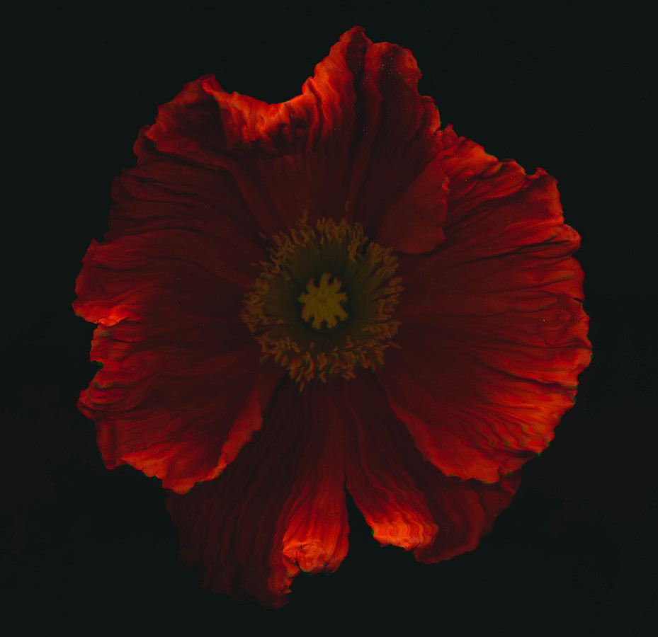 red poppy - Fineart photography by Ramona Reimann
