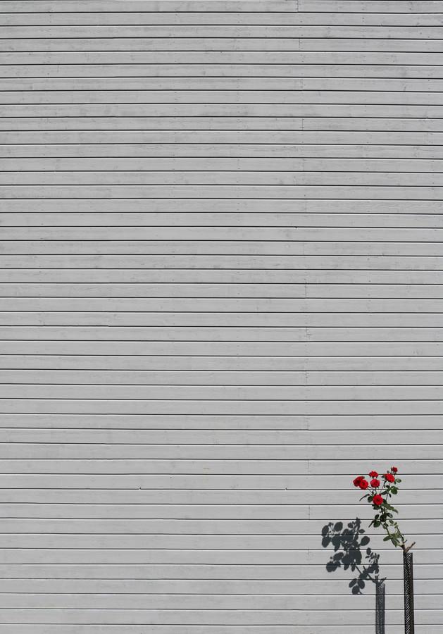 Il name della rosa - Fineart photography by Marcus Cederberg