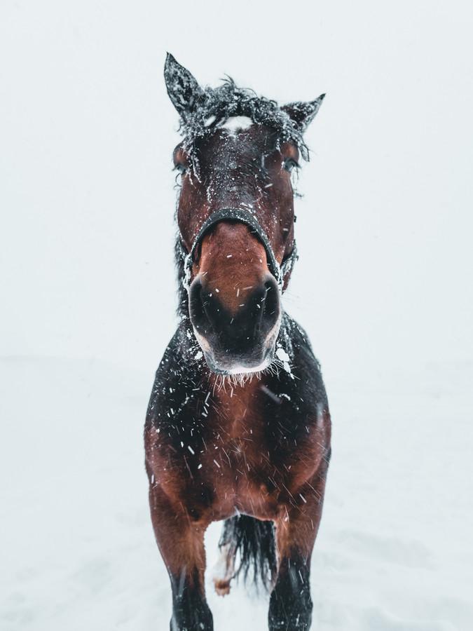 Pferd im Schneesturm - fotokunst von Daniel Weissenhorn