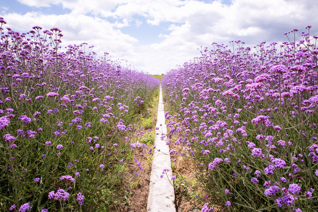Purple flower field - fotokunst von Oona Kallanmaa