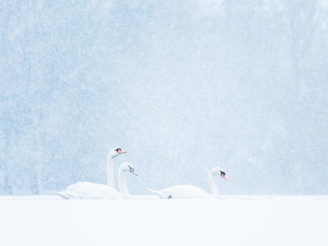 Schwäne im Schneefall - fotokunst von Felix Wesch