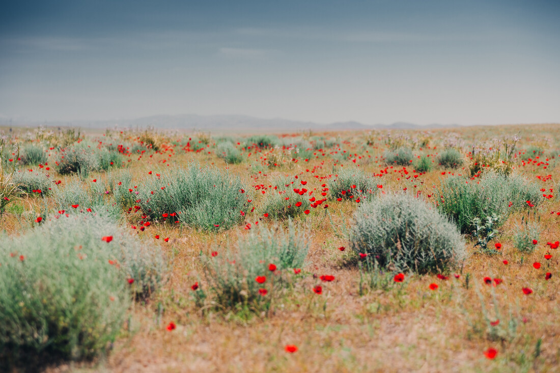 Mohnblüte in der Wüste Kysylkum - fotokunst von Eva Stadler