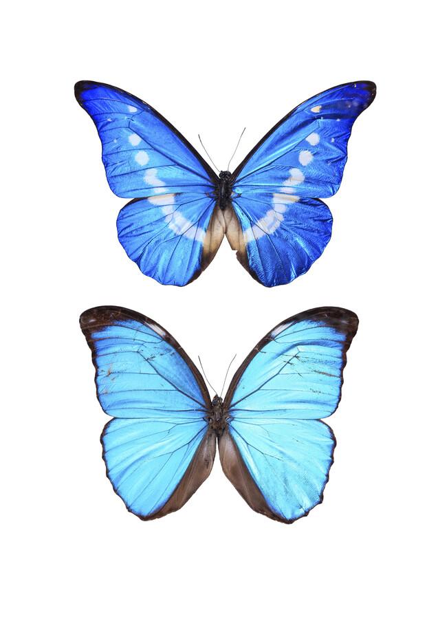 Rarity Cabinet Blue Butterflies Morpho - Fineart photography by Marielle Leenders