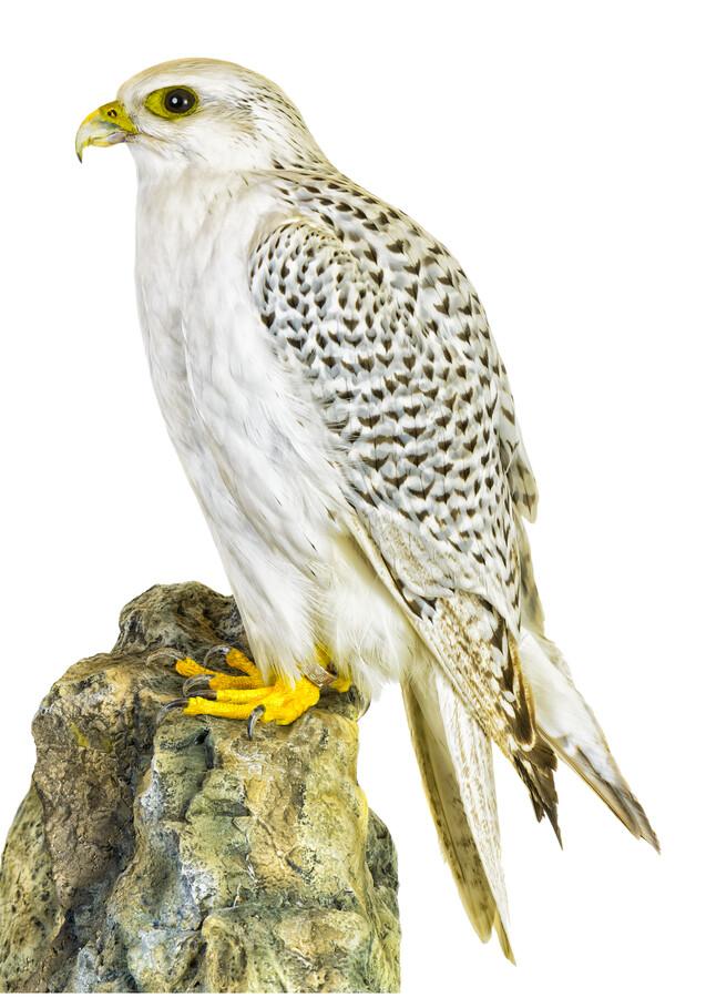 Rarity Cabinet Bird Hawk - Fineart photography by Marielle Leenders