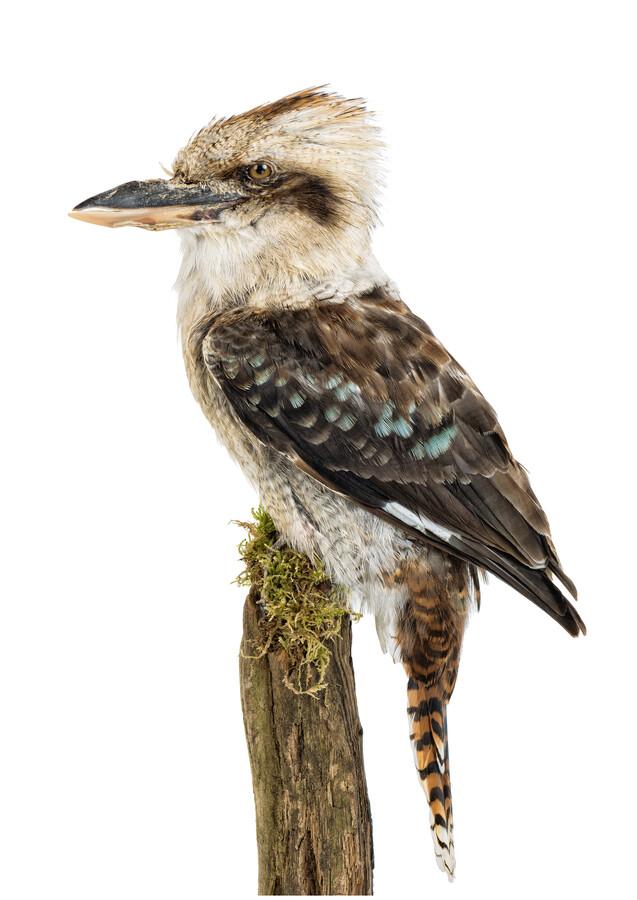 Rarity Cabinet Bird Kookaburra Brown - Fineart photography by Marielle Leenders