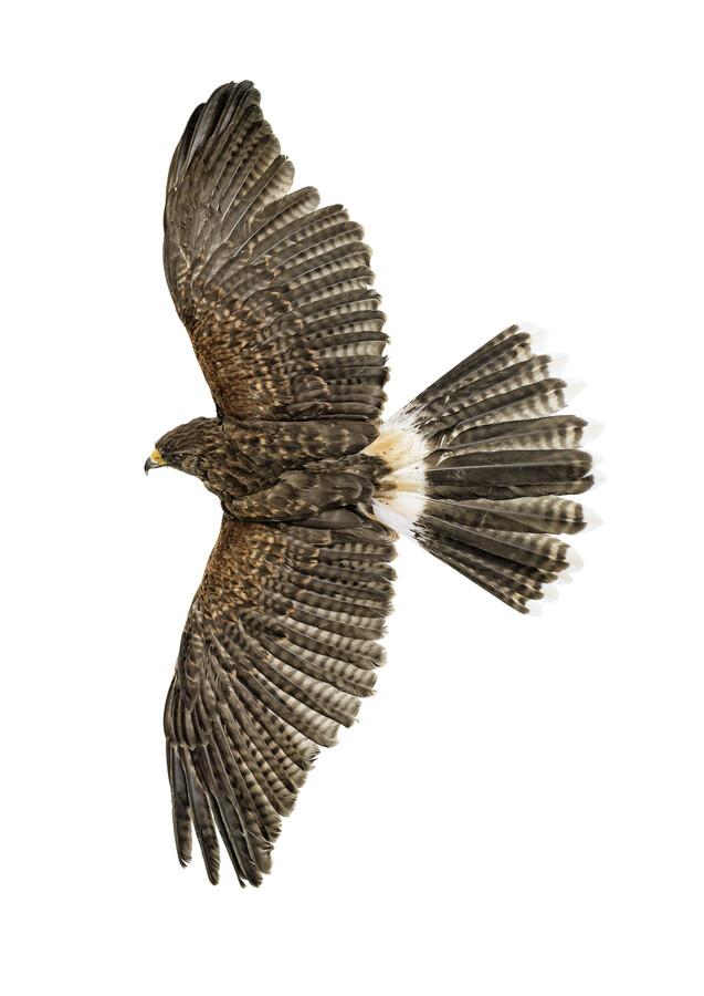 Rarity Cabinet Bird Eagle - Fineart photography by Marielle Leenders