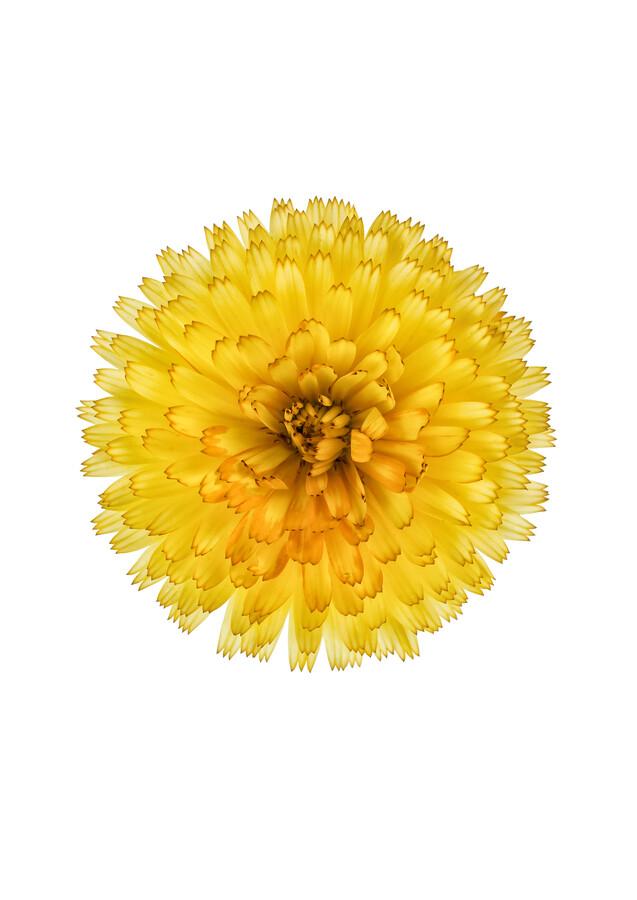 Rarity Cabinet Flowers Calendula - Fineart photography by Marielle Leenders