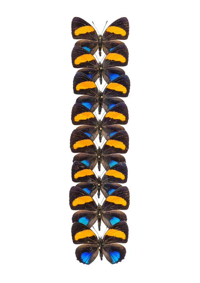 Rarity Cabinet Butterfly Orange - Fineart photography by Marielle Leenders