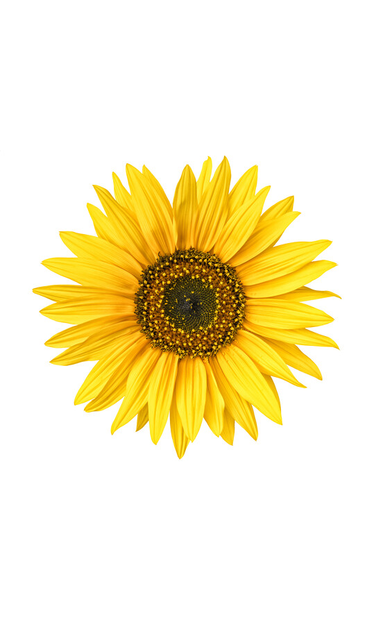 Rarity Cabinet Flower Sunflower - Fineart photography by Marielle Leenders