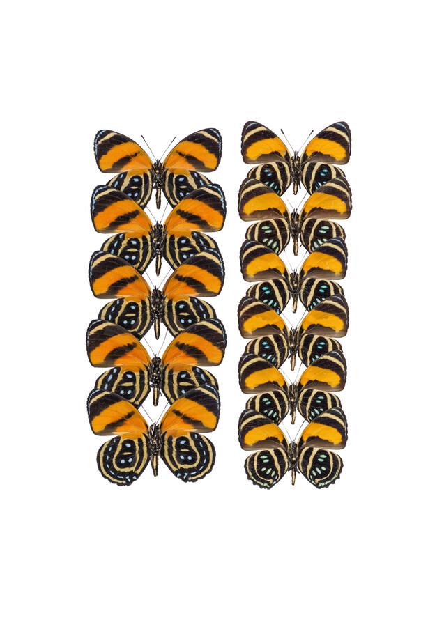 Rarity Cabinet Butterfly Orange 2 - Fineart photography by Marielle Leenders