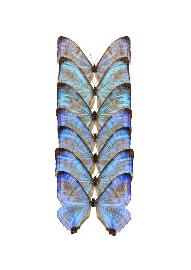 Rarity Cabinet Butterfly Blue - Fineart photography by Marielle Leenders