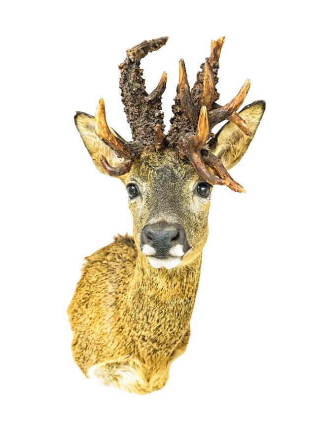 Rarity Cabinet Animal Deer - Fineart photography by Marielle Leenders