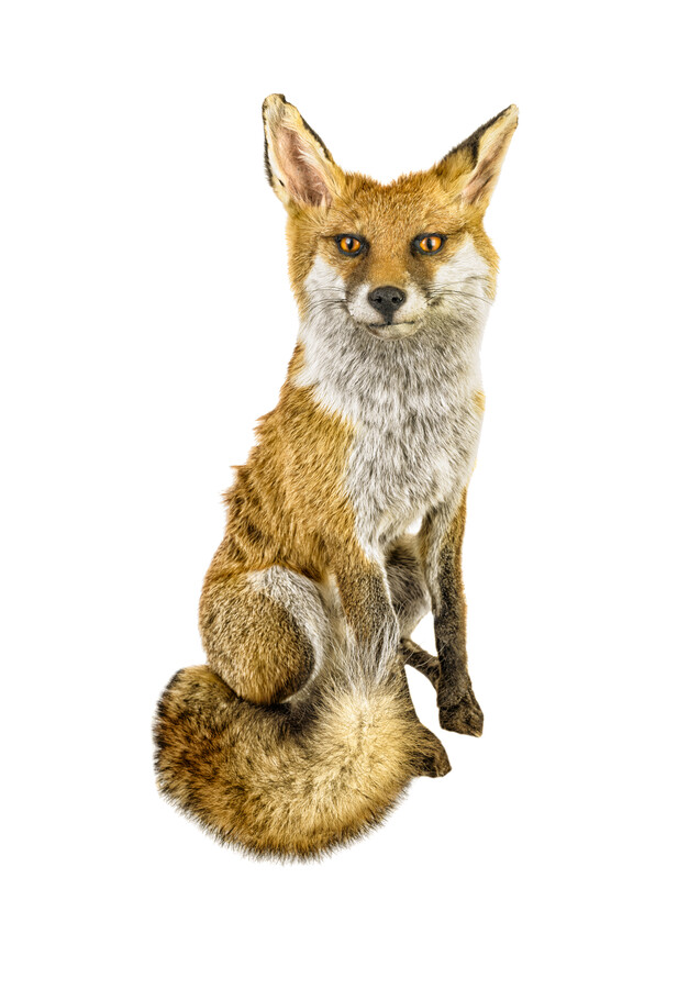 Rarity Cabinet Animal Fox - Fineart photography by Marielle Leenders