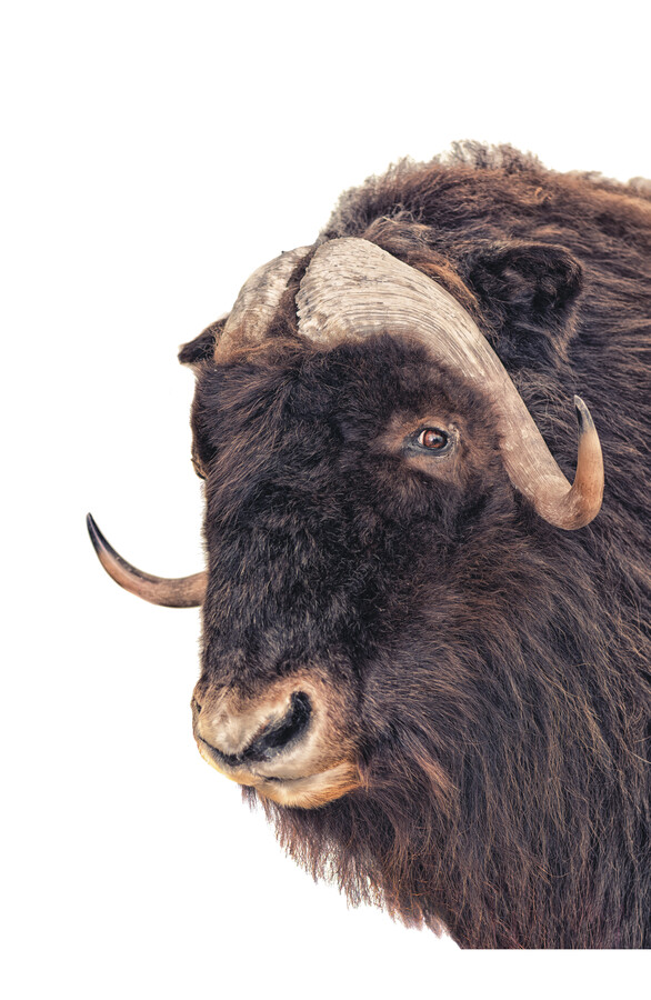 Rarity Cabinet Animal Bison - Fineart photography by Marielle Leenders