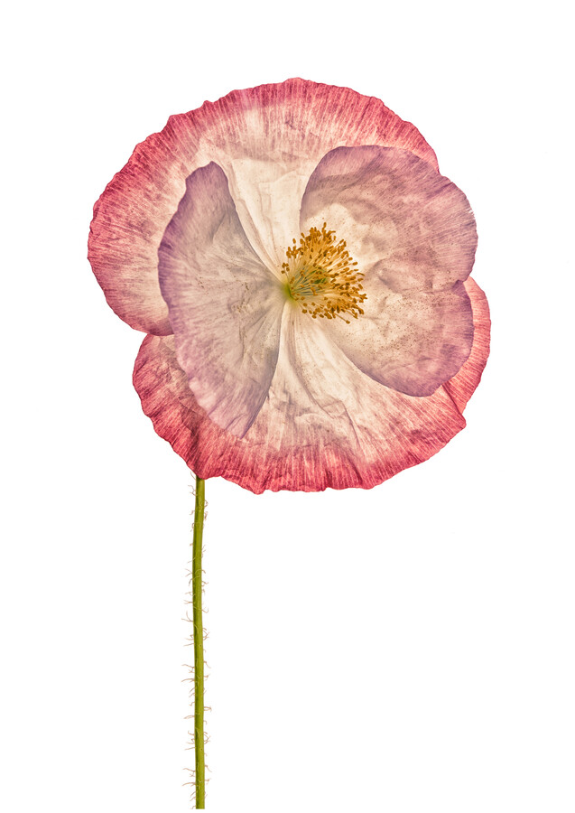 Rarity Cabinet Flower Poppy 3 - Fineart photography by Marielle Leenders
