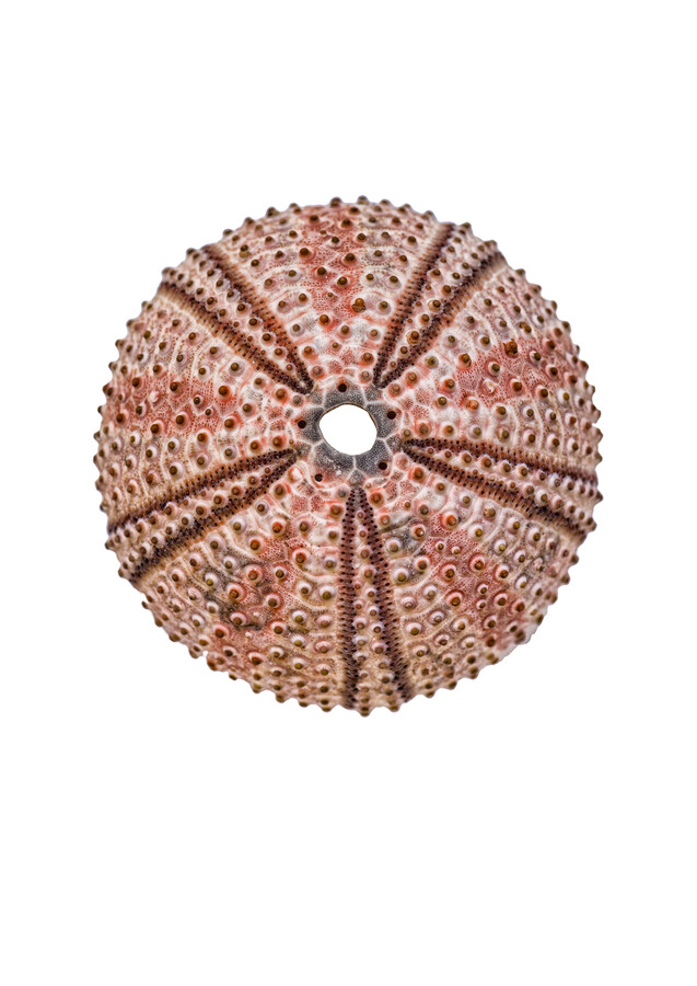 Rarity Cabinet Shell Sea Urchin - Fineart photography by Marielle Leenders