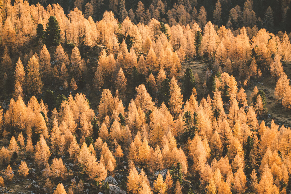 Golden Autumn Larches - Fineart photography by Roman Königshofer