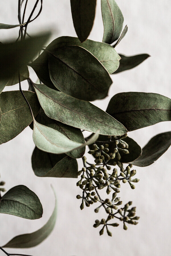 Eucalyptus 10 - Fineart photography by Mareike Böhmer