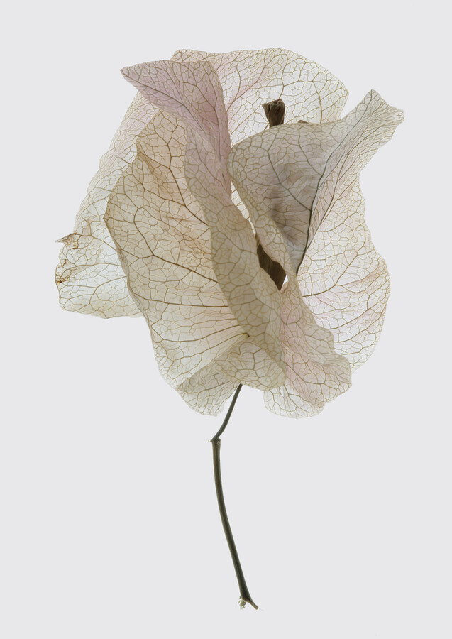Bougainvillea Study 2 - Fineart photography by Shot By Clint